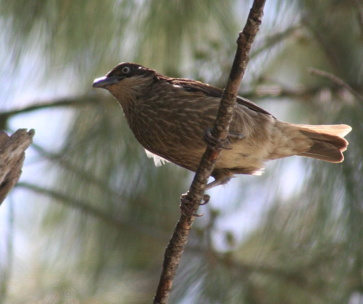 Список птиц Ниуэ