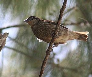 Polynesian Starling Aplonis tabuensis in Nuku ...