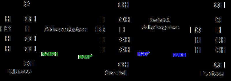 File:Polyol metabolic pathway.png
