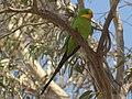 Polytelis swainsonii -Canberra, Australia-8a (2).jpg