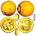 Poncirus trifoliatus fruit and seeds.jpg
