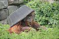 Pongo abelii at the Philadelphia Zoo 012.jpg