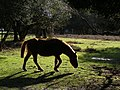 Pony in a holly holm, Bolderwood, New Forest - geograph.org.uk - 316592.jpg