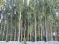 Poplar trees, Abdiraim Shamatov Secondary School.JPG