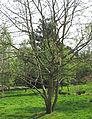 Populus lasiocarpa by Line1.jpg
