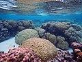 Porites and Acropora corals in American Samoa.jpg