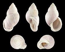 Porphyrobaphe iostoma bilabratus 01.JPG