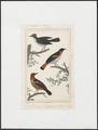 Pratincola leucura - 1838 - Print - Iconographia Zoologica - Special Collections University of Amsterdam - UBA01 IZ16500151.tif