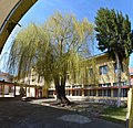 Primary School Vasil Levski in Botevgrad - old willow tree 02.jpg