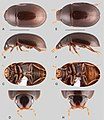 Primocerus (10.3897-zookeys.855.33013) Figure 12.jpg