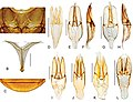 Primocerus (10.3897-zookeys.855.33013) Figure 14.jpg