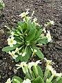 Primula vulgaris 'Primrose' (Primulaceae) plant.jpg