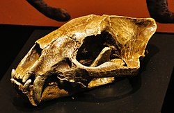 Proailurus lemanensis skull.jpg