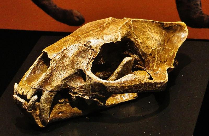 https://upload.wikimedia.org/wikipedia/commons/thumb/4/49/Proailurus_lemanensis_skull.jpg/800px-Proailurus_lemanensis_skull.jpg