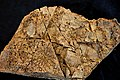 Procteria granulifera - Coral Fossils from Brittany in France.jpg