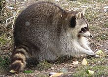 Raccoon In T Shirt Eating Food Off Plate Fast