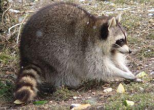 Procyonidae - Common raccoon