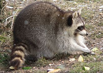 Procyonidae - Common raccoon