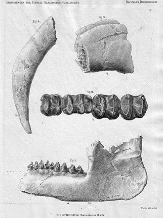 Prodeinotherium - Skull bones of P. bavaricum, illustrated in 1875