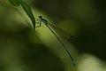 Protoneuridae-Kadavoor-2015-08-20-002.jpg