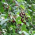 Prunus avium fruit.jpg