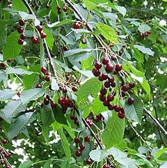 240px prunus avium fruit