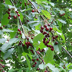 Prunus avium - Wild cherry foliage and fruit