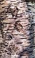 Prunus cerasus Montmorency tree bark 19.jpg