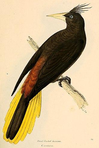 The Naturalist on the River Amazons - Image: Psarocolius decumanus 1841