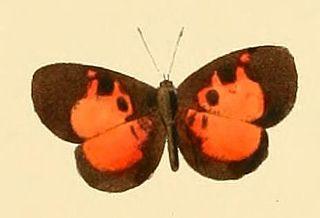 <i>Eresiomera isca</i> Species of butterfly