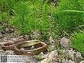 Pseudopus apodus (47932917843).jpg