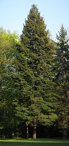 Coast Douglas-fir in Warsaw