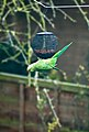 Psittacula krameri -Bromley, London, England -female -bird feeder-8 (1).jpg
