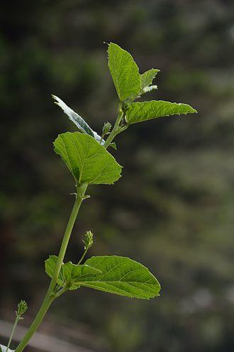 Psoralea corylifolia - Image: Psoralea corylifolia Agri Horticultural Society of India Alipore Kolkata 2013 01 05 2282
