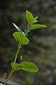 Psoralea corylifolia - Agri-Horticultural Society of India - Alipore - Kolkata 2013-01-05 2282.JPG