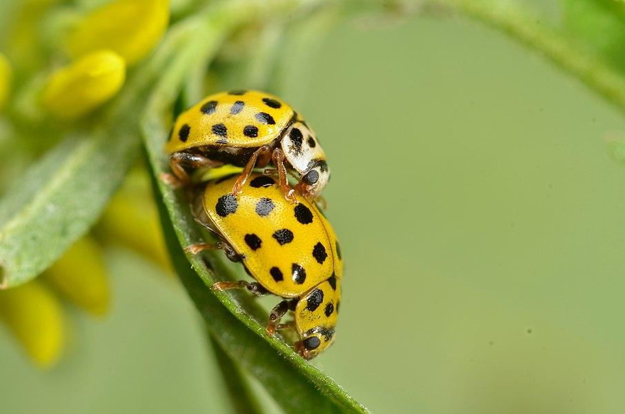 Psyllobora vigintiduopunctata in copula