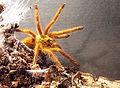 Pterinochilus murinus2.jpg