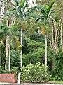Ptychosperma elegans in Cairns Botanic Gardens SF21108.jpg