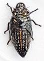 Ptyelus grossus08.jpg
