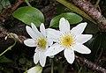 Puawhananga flowers (Clematis paniculata).jpg