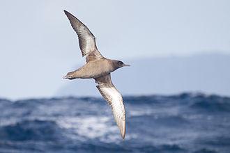 Sooty shearwater - Image: Puffinus griseus in flight SE Tasmania