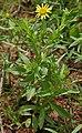 Pulicaria wightiana (Sontikli) in Hyderabad, AP W IMG 0009.jpg