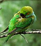 Purple-crowned Lorikeet.jpg