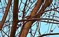 Purple Finch (8611047949).jpg