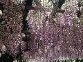 Purple wisteria in Kawachi Wisteria Garden 20150509-5.JPG