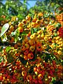 Pyracantha in Tennessee.jpg