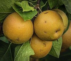 Pyrus pyrifolia fruit on tree PS 2z LR.jpg