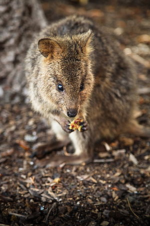 Quokka - Quokka using its front paws to eat