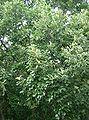 Quercus aliena3.jpg