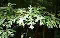 Quercus cerris 2.jpg